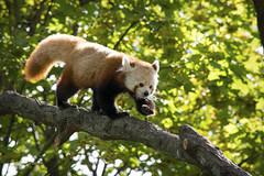Red Panda II (Photato Jonez) Tags: red panda detroit zoo michigan nature animal mammal alex day alexander tree light color
