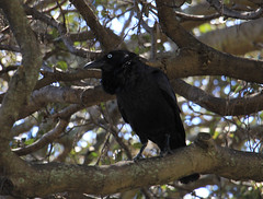 Forest Raven (jpotto) Tags: australia sydney centennialpark birds bird corvid raven forestraven