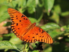 Gulf Fritillary 20161204 (Kenneth Cole Schneider) Tags: florida miramar westbrowardwca
