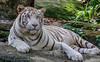 White Tiger (Richard Landherr) Tags: singapore zoo white tiger whitetiger animal canon