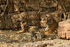 Tiger family (dickysingh) Tags: tiger tigers wildlife wild ranthambore ranthambhore noor t39