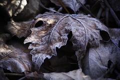 Zamora. 2016. (Jose_Prez) Tags: zamora castillalen hojas seco otoo helada fro naturaleza autumn frost cold sheet dryleave dew rocio nature color