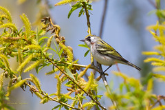 _53F9566 Chestnut-sided Warbler (~ Michaela Sagatova ~) Tags: ontario dundas songbird chestnutsidedwarbler dendroicapensylvanica woodwarbler dvca michaelafotheringham michaelasagatova