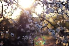 Bloesem (MarielleRosePhoto) Tags: flowers sun sunlight white flower holland nature netherlands regenboog sunrise canon 50mm blossom nederland natuur lensflare lente wit zon bloesem bloemen zonlicht zonsopgang bloemetjes natuurfotografie 52project teamcanon instagram mariellerosephoto marielle07