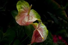 IMD_7085a copy (IndyMcDuff (Bellifemine Studios)) Tags: flower nikon tropical bloom d3x artisticflowers mindigtopponalwaysontop indymcduff