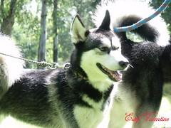 Husky 01 (Estef Valentine) Tags: dog husky