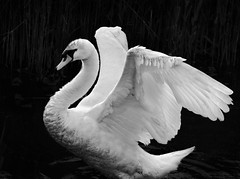 Wing Span (Carolbreeze99) Tags: bw white warning swan adult threatening wing feather dorset strength backlit flapping span threat swannery abbottsbury matchpointwinner mpt367