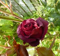 Black Rose 178/365 (Bebopgirl1969) Tags: black flower green crimson rose garden