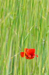 Punane rohelisel (GaidaFoto) Tags: moon suvi taimed punane rohelisel