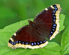 Mourning Cloak (Nymphalis antiopa) (Foto Martien (thanks for over 17 million views)) Tags: holland colour macro netherlands beautiful dutch butterfly insect geotagged big wings asia europe colorfull great large nederland grand papillon northamerica gps falter mariposa coloured geotag slt veluwe farfalla schmetterling vlinder kleurrijk a77 macrophoto kleuren groot morio polychrome geotagging bont harskamp mourningcloak camberwellbeauty veelkleurig macrofoto kleurig nymphalisantiopa zorgboerderij trauermantel rouwmantel whitepetticoat grandsurprise rusakaaobnik vanessaantiopa zorginstelling koningsmantel  passiflorahoeve martienuiterweerd antopa minoltamacro100mm28mm fotomartien  aobnik slta77v a77v sonyalpha77  yaspelerinikelebei  kwekerijvooreuropesevlinders