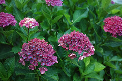 Hydrangea (Matsudo, Chiba, Japan) (t-mizo) Tags: flowers plants plant flower japan sigma chiba  hydrangea    merrill foveon matsudo    dp2 hydrangeaceae spp sigmaphotopro dp2m dp2merrill