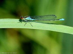 Naîade au corps vert ♂ (Erythromma viridulum) (zogt2000 (No Video)) Tags: buzznbugz naîadeaucorpsvert