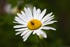 (Irene Becker) Tags: summer flower nature closeup bug serbia meadow daisy balkan srbija tratinčica taramountain livada zaovine bajinabašta тратинчица westserbia zlatibordistrict irenebecker nacionalniparktara imagesofserbia irenebeckereu
