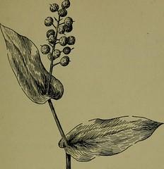 Anglų lietuvių žodynas. Žodis maianthemum canadense reiškia <li>maianthemum canadense</li> lietuviškai.