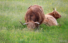 Highland cows and buttercups (mootzie) Tags: hairy grass ginger cow horns lewis highland curly croft ness buttercups
