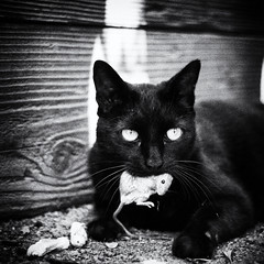 Noir, Darkly (CarbonNYC [in SF!]) Tags: cat noir howardlangton mouse dark death carbonnyc carbonsf howardlangtoncommunitygarden communitygarden garden soma sanfrancisco sf