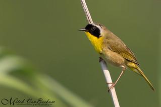 Not So Common Yellowthroat - Male