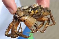 European Shore Crab (Carcinus maenas), male (Nature.Catcher) Tags: canon germany crab northsea schleswigholstein europeangreencrab carcinusmaenas europeanshorecrab