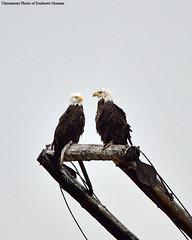 Hanging Out (Photos of Southwest Montana) Tags: summer southwest bird nature brad forest nikon montana eagle wildlife bald sigma national raptor dillon prey christensen beaverhead beaverheaddeerlodge