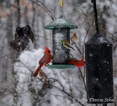 _XT18402-Edit-Edit (neech_2000) Tags: winter snow bird animal birdfeeder hunger strength survival tenacity cardinals determination loudoun songbirds loudouncounty otherbirds
