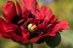 Red Silk Poppy (MelRoseJ) Tags: california flower macro nature unitedstates poppy fortbragg sonyalpha gardenbythesea minoltaaf100mmf28macro a77ii sonyilca77m2