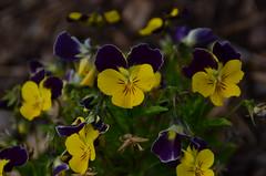 Stiefmtterchen Herz (schessi282) Tags: flower bayern flora nikon pflanze lila blume blte herz geld stiefmtterchen