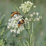 Horsetail Milkweed thumbnail