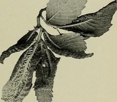 Anglų lietuvių žodynas. Žodis chalcis fly reiškia chalcis skristi lietuviškai.