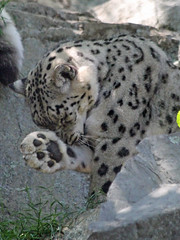 A snow leopard's paw (nhpanda (always trying to catch up....)) Tags: harry leopard kira snowleopard stonezoo zoonewengland flickrbigcats kiravictoria