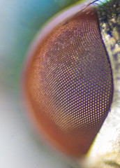 Fly Vision. (Adaptalux) Tags: colour macro eye face fly side vivid innovation product adaptalux