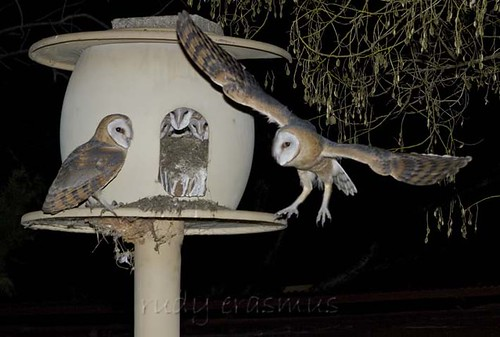 Western Barn Owls  Five at  nest_2960