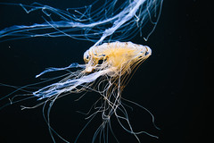(abigail nunez) Tags: sanfrancisco california aquarium jellies jellyfish aquariumofthebay chrysaorafuscescens pacificseanettles