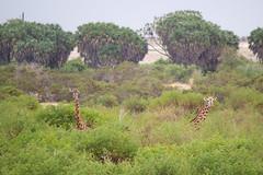Cuc (Luca Reggiani) Tags: kenya safari giraffe tsavoeast