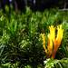 Calocera viscosa / Yellow Stagshorn / Klebriger Hörnling