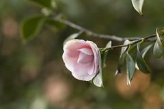Camellia (louisa_catlover) Tags: pink winter plant tree home nature yard canon garden eos dof bokeh australia melbourne august victoria 100mm camellia mygarden frontyard macrolens 2014 theaceae 60d