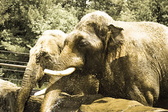 Elephants (M$ingh.) Tags: columbuszoo ohio elephant animal mammal nikon wildlife tusks zoology d7100 nikond7100