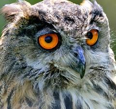 Eagle Owl (BitRogue) Tags: nikon owl birdsofprey d800 80400mm eagleowl feathersandfur nikond800 capturenx2