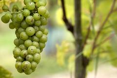 Grapevine (pfs26) Tags: green vineyard juicy wine vine organic grape grapevine seddlescombe