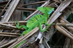 Emerald basilisk (Basiliscus plumifrons) (M.D.Parr) Tags: nature costarica reptile lizard lizards tortuguero reptiles martinparr squamata jesuschristlizard basiliscusplumifrons basiliscus specanimal plumedbasilisk sauropsida emeraldbasilisk corytophanidae martindparr mdparr