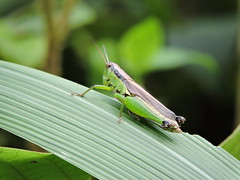 Damingshan, Guangxi/ - Acrididae DSCN1014 (Petr Novk ()) Tags: china nature animal insect asia wildlife grasshopper asie  orthoptera guangxi    acrididae hmyz    damingshan na