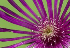 mesembriantemo (Pioppo67) Tags: flower macro canon wonderful fiore mesembriantemo 60d canon60d macroandwonderfulshots