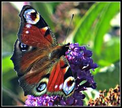 Peacock Butterfly feeding (9) (ronramstew) Tags: wild butterfly garden scotland buddleia angus peacock forfar