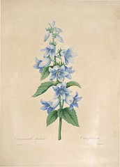 Anglų lietuvių žodynas. Žodis campanula trachelium reiškia <li>campanula trachelium</li> lietuviškai.