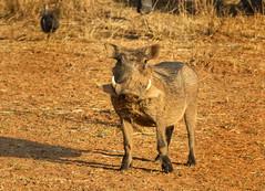 Warthog on the Waterberg (Ken & Rose Farge 500k+ views. Thank you) Tags: africa southafrica wildlife lakeside safari kens warthog waterberg