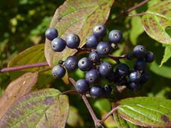 summer plant fruit newjersey nj shrub somersetcounty cornus cornaceae fav10 cornusamomum silkydogwood cornales warrentownship glenhurstmeadows