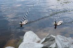 Boys Looking for Fun (Sergei P. Zubkov) Tags: june ducks mallard savonlinna 2011