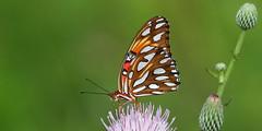 Gulf Fritallary, Conner Preserve- Land O' Lakes, Florida (Vince Capp) Tags: