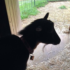 "Temperatures in the 50s with heavy rain seems like the perfect excuse to stay inside today. Zinnia seems to agree. She was content to gaze outside the barn door in between mouthfuls of hay with Violet and Tassie.  I much prefer coffee to hay, so I am trea • <a style=""font-size:0.8em;"" href=""https://www.flickr.com/photos/54958436@N05/15121184950/"" target=""_blank"">View on Flickr</a>"
