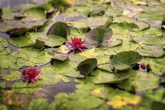 Vannliljeteppe (Birgit F) Tags: flowers lensbaby waterlilies grimstad vannlilje dmmesmoen lensbabycomposer edge80 rosavannlilje lensbirdiecom lensbirdie