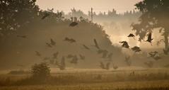 Take off! (Gotland girl) Tags: morning mist birds countryside sweden flight cranes gotland lrbro